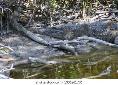 Gator in Everglades National Park