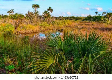 Gator Pool surrounded by Palm Trees; Saw Grass and Palmetta in Everglades National Park