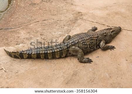 Gators Hold Animal Top Food Chain Stock Photo Edit Now 358156304