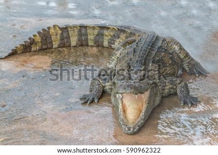Gators Hold Animal Top Food Chain Stock Photo Edit Now 590962322