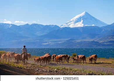 Gauchos and herd of cows on the background the volcano Lanin, Patagonia, Argentina
