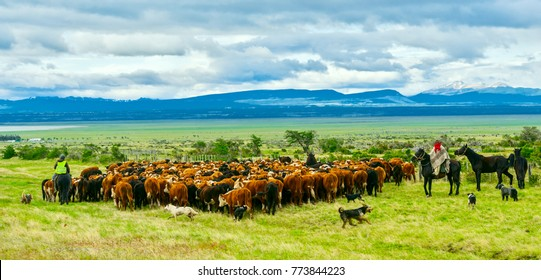 Gauchos and herd of cows. Patagonia, Chile.