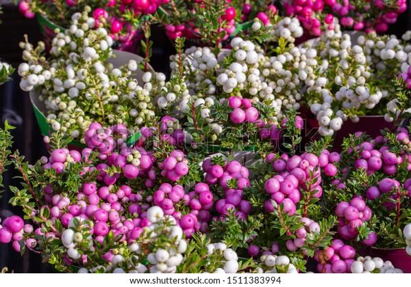Pernettya Cuidados.Gaultheria Mucronata Berry Fruit White Pink Editar Agora Foto Stock 1511383994