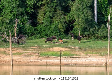 Gaur family is eating grass in the forest by the lake. khlong saeng wildlife sanctuary. Thailand.