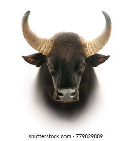 gaur head isolated on white