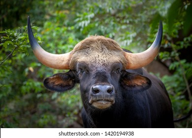 Gaur, Indian bison in the nature.