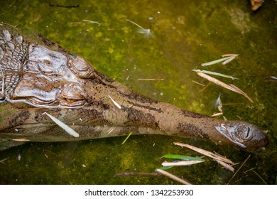 Gavial fish-eating crocodile Gavialis gangeticus in the water