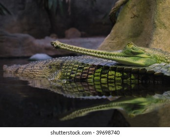 Gavial resting in the water