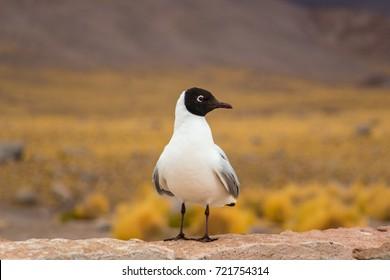 Gaviota Andina, Andean Gull near the Geiser del Tatio, Chile.