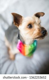 Gay pride rainbow dog - Yorkshire Terrier