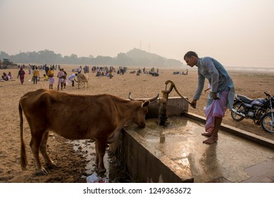Gaya / India 12 November 2018 A Priest using a hand pump to get ground water for holy cow to drink at Gaya in Bihar northeast India