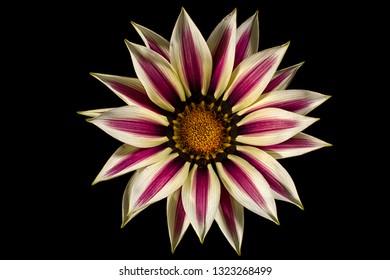 gazania flower macro on black background