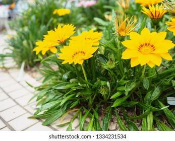 ฺBeautiful Gazania flowers growing in the garden