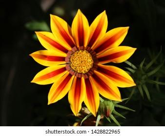 Gazania - Gazania Rigens Flores
