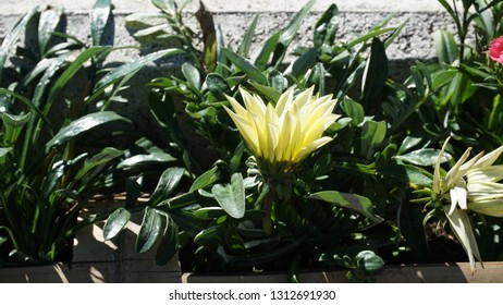Gazania rigens, sometimes called treasure flower, is a species of flowering plant in the family Asteraceae, native to southern Africa