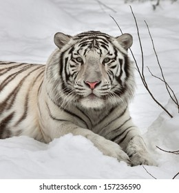 Gaze of a white bengal tiger, lying on fresh snow in alert pose. The most beautiful animal and very dangerous beast of the world. This severe raptor is pearl of the wildlife. Animal face portrait.