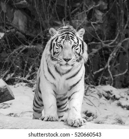 Gaze of white bengal tiger, stepping over the fallen tree in snowy forest. Black and white image.