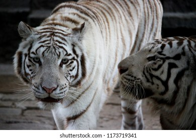 The gaze of a white tiger is intense