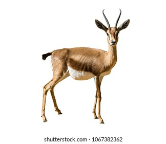 Gazel-Dorcas - wild animal isolated on white background