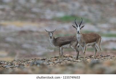 Gazella subgutturosa Goitered gazelle