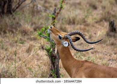Gazelle eating leafs, Africa national park Tarangire