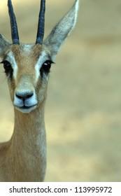 Gazelle (Gazella dorcas)