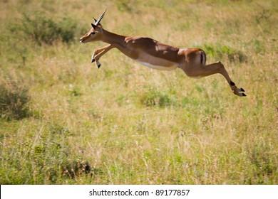 Gazelle jumps in the Serengeti