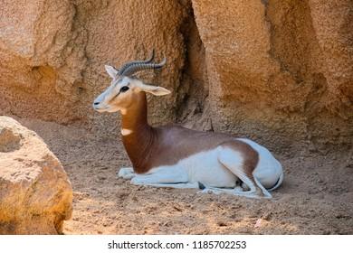 Gazelle Mhorr (species: Nanger lady mhorr) sits in shadow of rocks