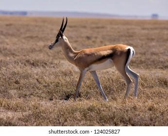 Gazelle in Serengeti