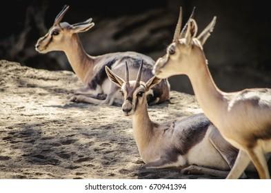 Gazelles resting in shade