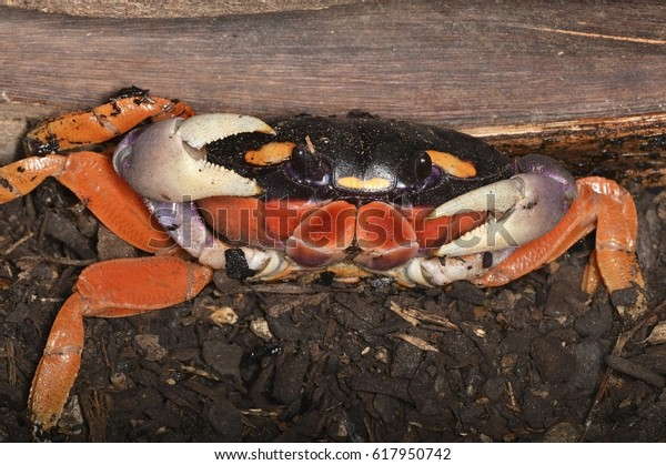 906fc59dc Gecarcinus quadratus (halloween moon crab or harlequin land crab), a  colourful land crab