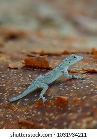 Gecko (Anolis carolinensis)