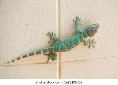 Gecko climbing on cement wall
