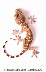 Gecko climbing on white background