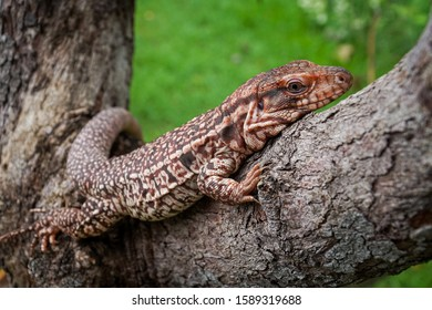 A gecko clings to a tree branch