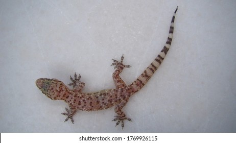 Gecko - close up 			Amazing Camouflage Animals, Camouflage lizards 			It's also called Mediterranean house gecko, akdeniz sakanguru, pacific house gecko, wall gecko, house lizard 			reptile, reptiles, animal