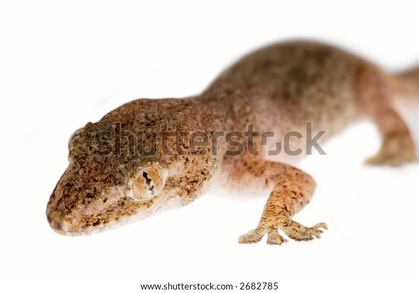Gecko close up isolated on white
