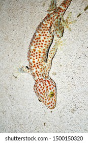 Gecko with curved tail on concrete wall , Many orange color dots spread on blue skin of Gekko gecko , Reptiles in the homes of the tropics.