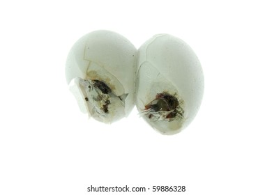 gecko egg isolated on white background