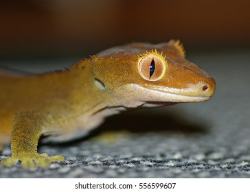 gecko with focus on the eye