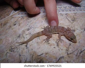 Gecko has two tails  Amazing Camouflage Animals, Camouflage lizards It's also called Mediterranean house gecko, akdeniz sakanguru, pacific house gecko, wall gecko, house lizard reptile, reptiles