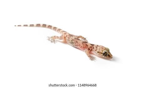 Gecko Lizard isolated