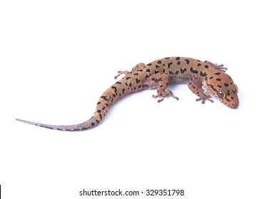 Gecko lizard isolated on white background