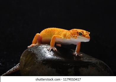 Gecko, Lizard, Leopard Lizard Gecko