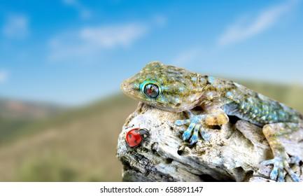 Gecko looking ladybug close up