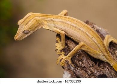 Gecko - Madagascar