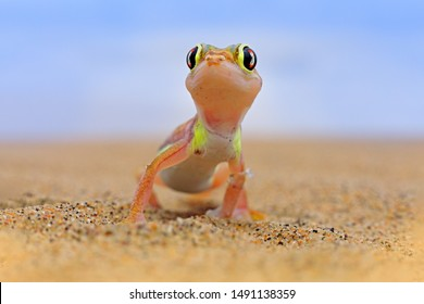 Gecko from Namib sand dune, Namibia. Pachydactylus rangei, Web-footed palmato gecko in the nature desert habitat. Lizard in Namib desert with blue sky with clouds, wide angle. Wildlife nature.