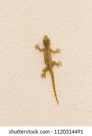 Gecko on cement wall