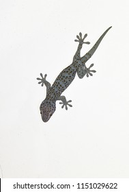 Gecko on gray wall, Many orange color dots spread on blue skin of Gekko gecko ,Reptiles in the homes of the tropics.Geckos are lizards belonging to the infraorder Gekkota, found in warm climate.
