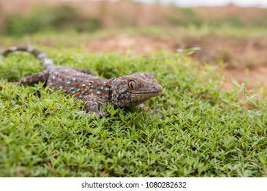 Gecko on the green grass